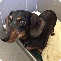 Adopt A Pet :: Tiffany (Rescue) - Jackson, MI