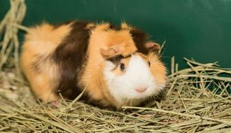 Guinea Pig for adoption in Lowell, Massachusetts - Biscuit