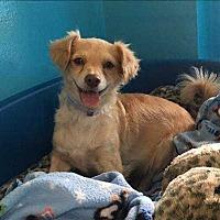 Adopt A Pet :: Lemon - Encino, CA