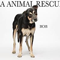 Adopt A Pet :: Bob - Los Angeles, CA