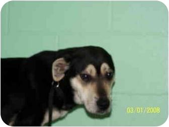 Labrador Retriever/Husky Mix Dog for adoption in Shelbyville, Kentucky - Zoe
