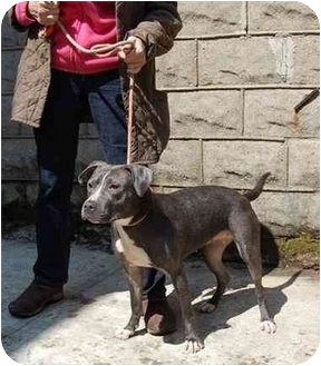 Mastiff/American Staffordshire Terrier Mix Dog for adoption in Long Beach, New York - Tina