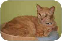 Domestic Shorthair Cat for adoption in Marietta, Georgia - Adam