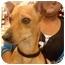 Photo 2 - Dachshund/Chihuahua Mix Dog for adoption in Las Vegas, Nevada - RED RAIDER