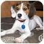 Photo 4 - Beagle Puppy for adoption in Latrobe, Pennsylvania - Jake