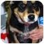 Photo 1 - German Shepherd Dog/Shepherd (Unknown Type) Mix Puppy for adoption in Broomfield, Colorado - Fudge