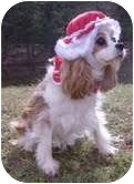 King Charles Spaniel Dog for adoption in Crystal River, Florida - Callie