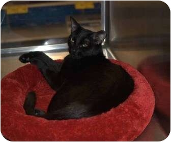 Domestic Shorthair Cat for adoption in New Port Richey, Florida - ZsaZsa
