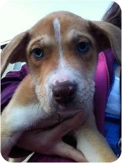 American Pit Bull Terrier/Australian Shepherd Mix Puppy for adoption in Wasilla, Alaska - Tumble