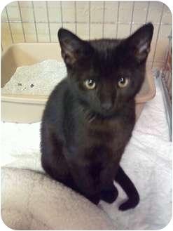 Domestic Shorthair Cat for adoption in Cincinnati, Ohio - Boris