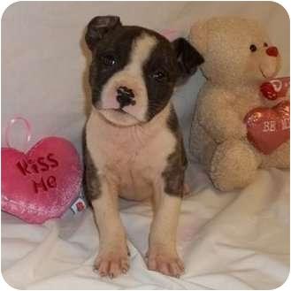 American Bulldog Mix Puppy for adoption in Bel Air, Maryland - Ellie