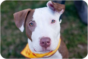 American Pit Bull Terrier Mix Puppy for adoption in Reisterstown, Maryland - Playboy