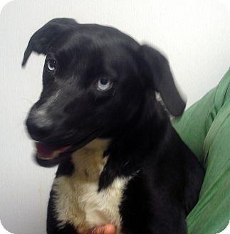 Husky/Labrador Retriever Mix Dog for adoption in Manassas, Virginia - Blue eyes