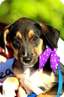 Labrador Retriever/Terrier (Unknown Type, Medium) Mix Puppy for adoption in Boynton Beach, Florida - Ramona