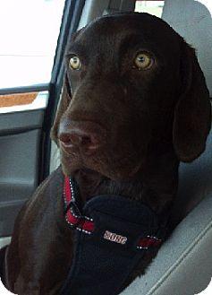 Labrador Retriever Mix Dog for adoption in Schertz, Texas - Dusty
