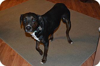 Hound (Unknown Type)/Labrador Retriever Mix Dog for adoption in Hagerstown, Maryland - Murphy