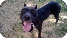 American Staffordshire Terrier/Labrador Retriever Mix Dog for adoption in Valley Village, California - EMMA