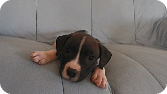 Pit Bull Terrier Mix Puppy for adoption in Salem, Oregon - Bella