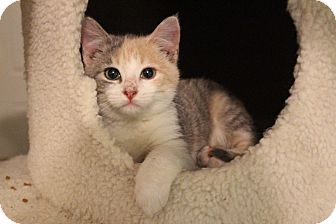 Calico Kitten for adoption in College Station, Texas - Cora