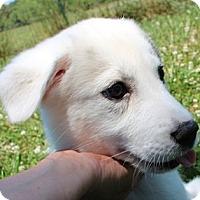 Adopt A Pet :: Neela - Allentown, PA