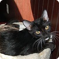 Adopt A Pet :: Boots - Chandler, AZ