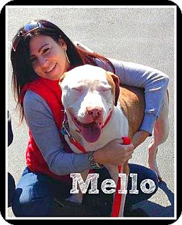 Pit Bull Terrier Mix Dog for adoption in Wantagh, New York - Mello