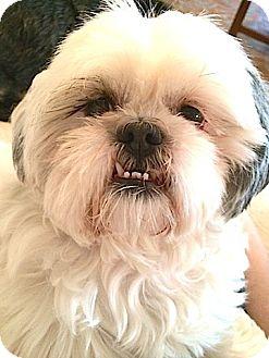 Shih Tzu Dog for adoption in Metairie, Louisiana - Mimi Van Buren