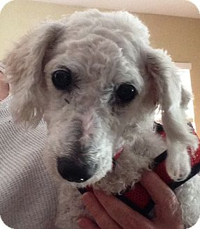 Poodle (Miniature) Mix Dog for adoption in San Marcos, California - Paulette