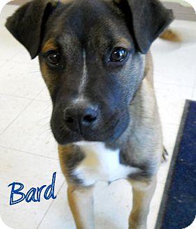 Boxer Dog for adoption in Lewisburg, West Virginia - Bard