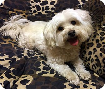 Lhasa Apso/Poodle (Miniature) Mix Dog for adoption in Los Angeles, California - WAFFLES