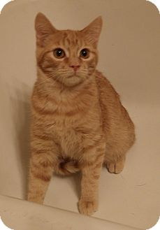 Domestic Shorthair Kitten for adoption in Quail Valley, California - Cheeto