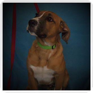 Boxer/Labrador Retriever Mix Puppy for adoption in Medford, Wisconsin - TANK