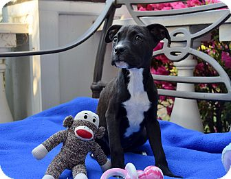 Boxer/Labrador Retriever Mix Puppy for adoption in Nashville, Tennessee - ABBY