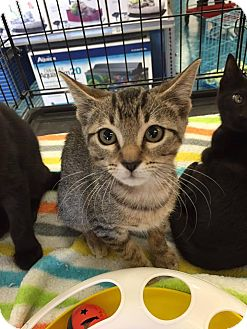 Domestic Mediumhair Cat for adoption in Mansfield, Texas - Brownie