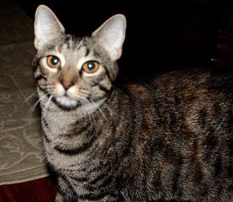 Domestic Shorthair Cat for adoption in Saint Augustine, Florida - Olivia
