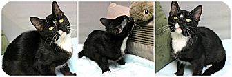 Domestic Shorthair Kitten for adoption in Forked River, New Jersey - Sport