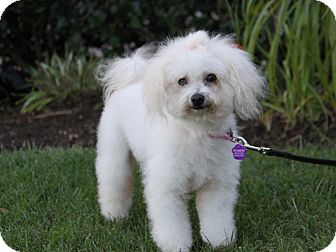 Poodle (Miniature)/Poodle (Toy or Tea Cup) Mix Dog for adoption in Newport Beach, California - KATHLEEN