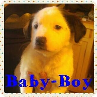 Australian Cattle Dog/Pit Bull Terrier Mix Puppy for adoption in Wichita Falls, Texas - Snoopy (Baby Boy)