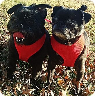 Brussels Griffon/Pug Mix Dog for adoption in Overland, Kansas - Mila & Maci - Adopted