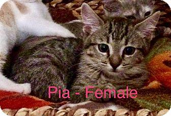 Domestic Mediumhair Kitten for adoption in West Palm Beach, Florida - Pia & Tasha - Pre-Adopt
