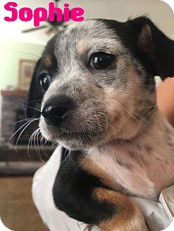 Chihuahua/Dachshund Mix Puppy for adoption in Mesa, Arizona - SOPHIE 10 WEEK CHIWEENIE
