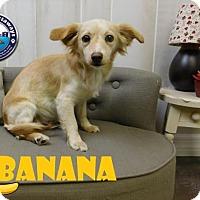 Adopt A Pet :: HOLD - Banana - Arcadia, FL