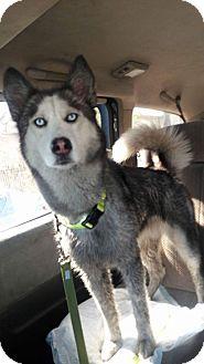 Alaskan Malamute/Husky Mix Dog for adoption in LAKEWOOD, California - Annie