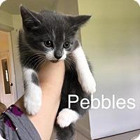 Adopt A Pet :: Pebbles - Naugatuck, CT