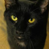 Adopt A Pet :: Onyx - Ravenel, SC