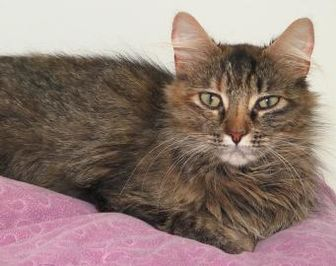 Domestic Longhair/Domestic Shorthair Mix Cat for adoption in Westville, Indiana - Elizabeth
