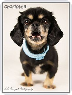 Pekingese Mix Dog for adoption in Kirkland, Quebec - Charlotte is reserved