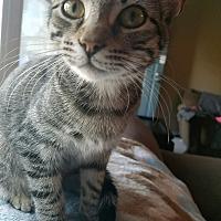 Adopt A Pet :: Stripes - Cleveland, TN
