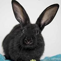 Adopt A Pet :: Bunny Elliot - Alexandria, VA