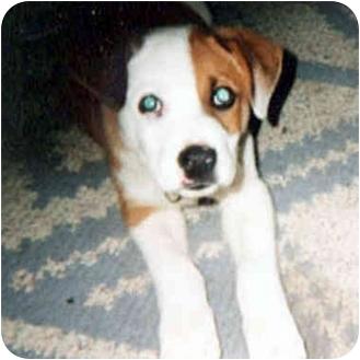 American Bulldog/Retriever (Unknown Type) Mix Dog for adoption in Berkeley, California - Petey